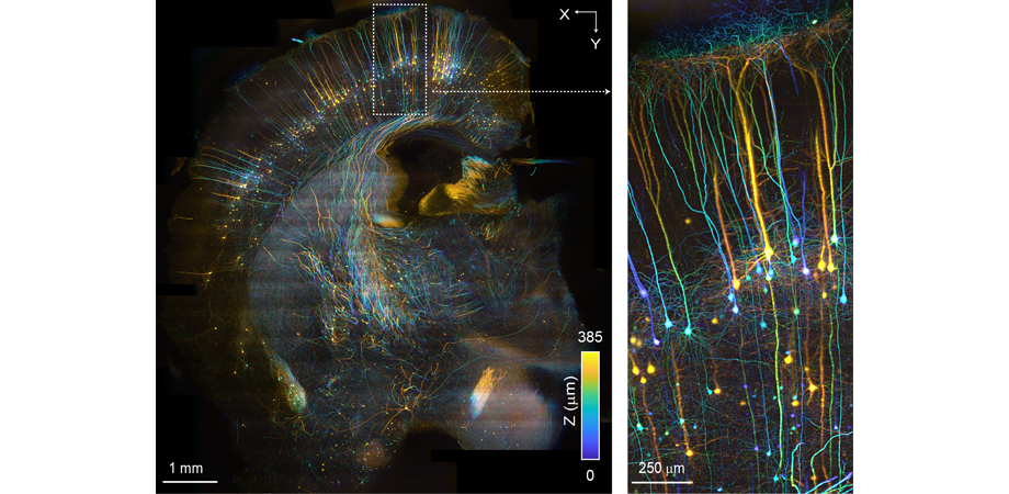 SCAPE 2.0 imaging of a cleared mouse brain (Thy1-GFP, mCUBIC). The whole 8.5 x 9.5 x 0.4 mm volume was imaged in only 230 seconds. Colors in the image denote depth into the sample. The inset on the right shows a zoomed in view of the region indicated on the left. Credit: Kripa Patel, Venkatakaushik Voleti and Hillman Lab. Sample provided by Arun Narasimhan and Pavel Osten.